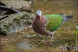 Dove, Common Emerald