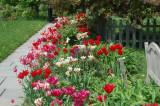 Spring Tulips, Skaneateles, NY