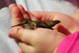 Fred Dietrich 2011-12 Winter Hummingbird Banding