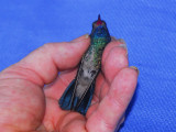 Broad-billed Hummingbird in Jacksonville, FL