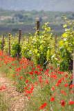 Vineyards along the road to Blagaj
