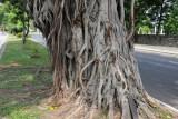 Trees along Nelum Pokuna Mawatha on the south side of Viharamahadevi Park