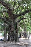 Trees along the Albert Crescent, Cinnamon Gardens