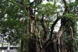 Banyan Trees along Albert Crescent in Cinnamon Gardens, Colombo