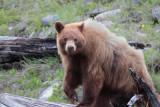 Bear 55