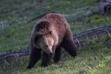 Bear 45