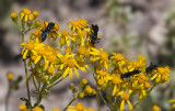 Wasps on Yellow Flowers Great Basin