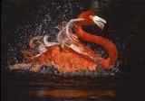 Bathing Flamingo Water Splash
