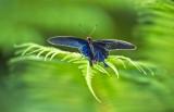 Black Blue Butterfly on Fern 2