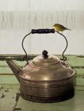 Wilsons Warbler on Teapot June 1990