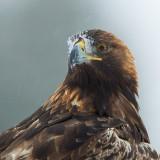 golden eagle  steenarend (NL) kongeørn (NO)  Aquila chrysaetos