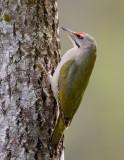 grey-faced woodpecker (m.)  grijskopspecht (NL) gråspett (N)  Picus canus