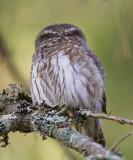 pygmy owl  spurveugle (N)  Glaucidium passerinum