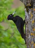 black woodpecker  zwarte specht (NL) svartspett (N)  Dryocopus martius