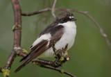 europian pied flycatcher(Ficedula hypoleuca; NL: bonte vliegenvanger)