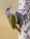 grey-faced woodpecker (f.)  grijskopspecht (NL) gråspett (N)  Picus canus