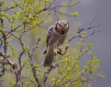 northern hawk owl  haukugle (N)  Surnia ulula