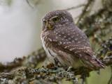 pygmy owl  dwerguil (NL) spurveugle (N)  Glaucidium passerinum
