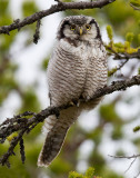 northern hawk owl  sperweruil (NL) haukugle (N)  Surnia ulula