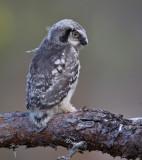 northern hawk owl (juv.)  sperweruil (NL) haukugle (N)  Surnia ulula