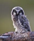 northern hawk owl (juv.)  haukugle (N)  Surnia ulula