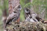 great grey owl  laplanduil (NL) lappugle (N)  Strix nebulosa