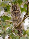 long-eared owl  ransuil  Asio otus