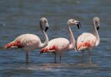 chilean flamingo  flaminco chileno (Esp.)  Phoenicopterus chilensis