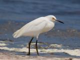 snowy egret  garceta nívea  Egretta thula