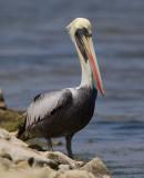 peruvian pelican  pelícano peruano  Pelecanus thagus
