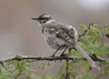 long-tailed mockingbird  sinsonte de cola larga  Mimus longicaudatus