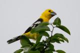 golden-bellied grosbeak  piquigrueso de vientre amarillo  Pheucticus chrysogaster