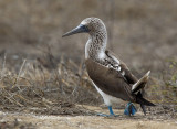 blue-footed booby  piquero camanay   Sula nebouxii
