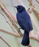 scrub blackbird  negro fino  Dives warczewiczi