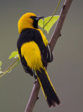 yellow-tailed oriole  Icterus mesomelas