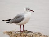 grey-headed (gray-hooded) gull  gaviota cabecigrís  Larus cirrocephalus
