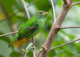 green honeycreeper  mielero verde  Chlorophanes spiza