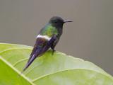 green thorntail  rabudito verde  Discosura conversii