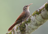 streak-headed woodcreeper  trepatroncos cabecirrayado  Lepidocolaptes souleyetii