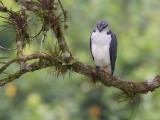 gray-backed hawk  busardo dorsigrís  Leucopternis occidentalis