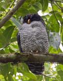 black-and-white owl  Cárabo Blanquinegro  Strix nigrolineata
