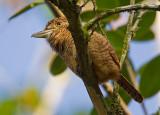 barred puffbird  buco barrado  Nystalus radiatus
