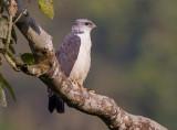grey-backed hawk  busardo dorsigrís  Leucopternis occidentalis