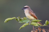 baird's flycatcher  bienteveo de baird Myiodynastes bairdii