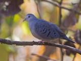 blue ground-dove  tortolita azulada  Claravis pretiosa