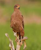 savanna hawk  busardo sabanero  Buteogallus meridionalis