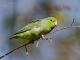 pacific parrotlet  Forpus coelestis
