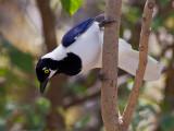 white-tailed jay  urraquita coliblanca  Cyanocorax mystacalis