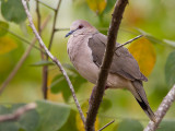 white-tipped dove  Leptotila verreauxi