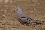 croaking ground-dove  Columbina cruziana